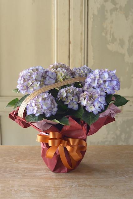 アジサイ鉢花